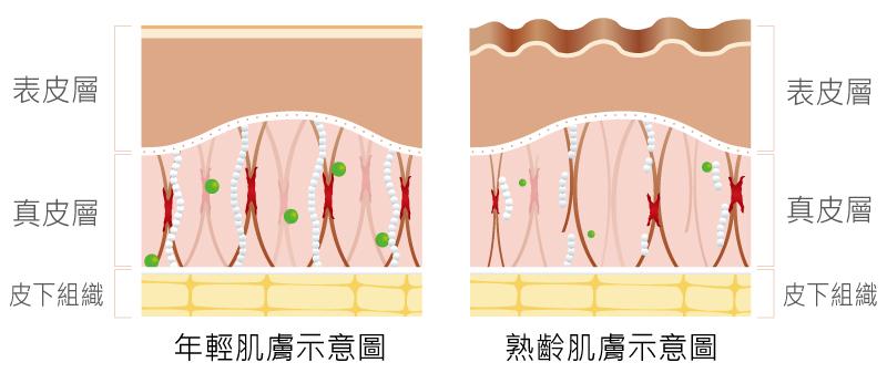 鳳凰電波,林心如,丰緹絲,皮膚構造,台北醫美,丰緹絲診所